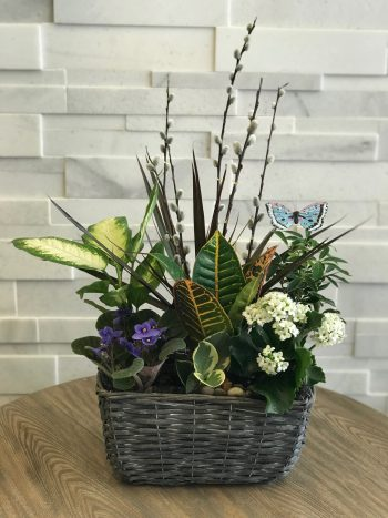 Grey Basket Plant